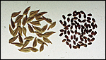 Chasmanthium, pure seed