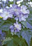ABUTILON vitifolium   Portion(en)