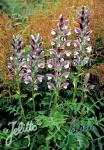 ACANTHUS hungaricus   Portion(s)