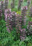 ACANTHUS spinosus   Portion(en)
