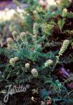 ACAENA myriophylla   Portion(en)
