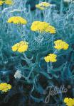 ACHILLEA clypeolata   Portion(en)