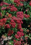 ACHILLEA millefolium  'Kirschkönigin' Portion(en)