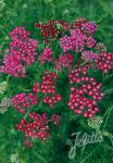 ACHILLEA millefolium  'Cassis' Portion(s)