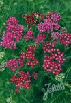 ACHILLEA millefolium  'Cassis' Portion(en)