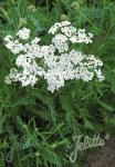 ACHILLEA millefolium  'Proa'