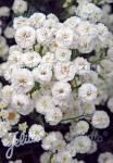 ACHILLEA ptarmica fl. pl.  'Noblessa' Portion(en)