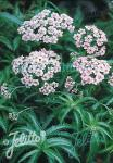ACHILLEA sibirica ssp. camtschatica  'Love Parade' Portion(en)