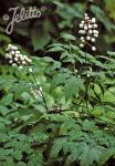 ACTAEA pachypoda   Portion(s)