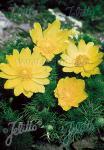 ADONIS vernalis   Portion(s)