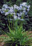 AGAPANTHUS praecox  'Queen Anne' Portion(en)