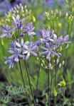 AGAPANTHUS praecox ssp. minimus  'Peter Pan' Portion(en)