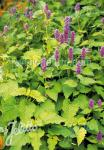 AGASTACHE rugosa  'Golden Jubilee' Portion(s)