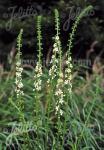 AGRIMONIA eupatoria var. alba   Portion(s)