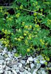 ALCHEMILLA alpina   Portion(en)