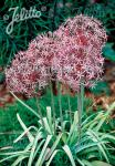 ALLIUM christophii   Portion(s)