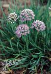 ALLIUM senescens ssp. glaucum   Portion(en)