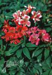 ALSTROEMERIA hybrida  'Dandy Candy'