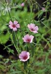 ALTHAEA cannabina   Portion(en)