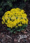ALYSSUM saxatile  'Gold Kobold' Portion(en)