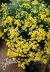 ALYSSUM saxatile  'Compactum Goldkugel' Portion(s)