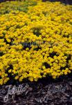 ALYSSUM saxatile  'Summit' Portion(en)