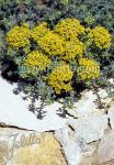 ALYSSUM serpyllifolium   Portion(en)