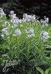 AMSONIA tabernaemontana   Portion(en)