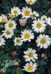 ANACYCLUS pyrethrum var. depressus   Portion(en)