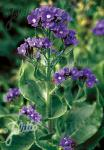 ANCHUSA azurea   Portion(en)