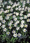 ANEMONE nemorosa   Portion(en)