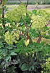 ANGELICA archangelica  'BLBP 01' Portion(en)