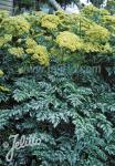 ANGELICA pachycarpa   Portion(s)