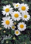 ANTHEMIS carpatica  'Karpatenschnee' Portion(en)