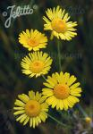ANTHEMIS tinctoria  'Kelwayi' Portion(s)