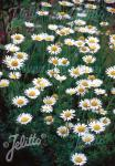 ANTHEMIS tinctoria  'Alba' Portion(en)
