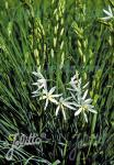 ANTHERICUM liliago   Portion(en)