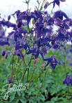 AQUILEGIA alpina hort.   Portion(s)