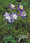 AQUILEGIA caerulea  Wildform Portion(en)