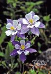 AQUILEGIA Caerulea-Hybr.  'Blue Star' Portion(en)