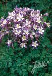 AQUILEGIA Caerulea-Hybr.  'Heavenly Blue' Portion(s)