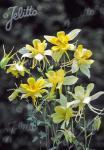 AQUILEGIA Caerulea-Hybr.  'Maxi' Portion(en)