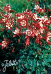 AQUILEGIA Caerulea-Hybr.  'Red Hobbit' Portion(en)