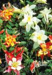 AQUILEGIA Caerulea-Hybr.  'Dragon Fly', Mixture Portion(s)