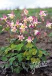 AQUILEGIA canadensis  'Pink Lanterns' Portion(s)