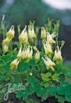 AQUILEGIA canadensis  'Corbett' Portion(s)