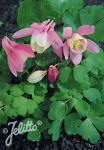 AQUILEGIA flabellata Cameo-Series 'Cameo Lightred-White' Portion(s)
