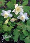 AQUILEGIA flabellata Cameo-Series 'Cameo White' Portion(s)