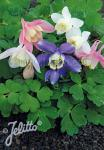 AQUILEGIA flabellata Cameo-Series 'Cameo Mixture' Portion(s)