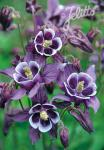 AQUILEGIA vulgaris Winky-Series 'Winky Purple-White' Portion(s)